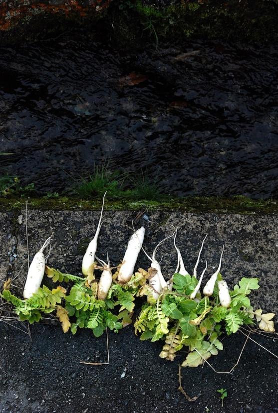 la récolte de daikons