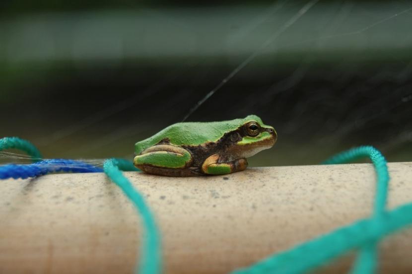 grenouille dans le jardin