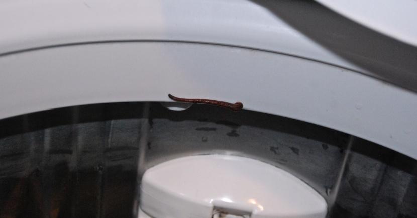 sangsue dans la machine a laver