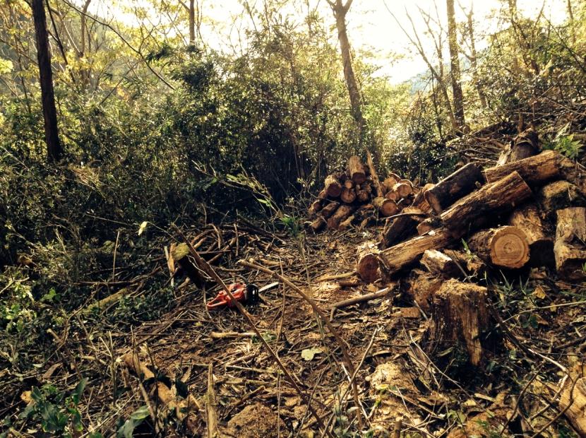 découpe des troncs effondrés et éclaircissement