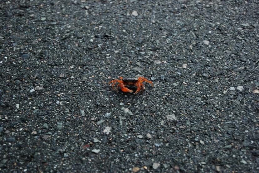 un crabe sur la route