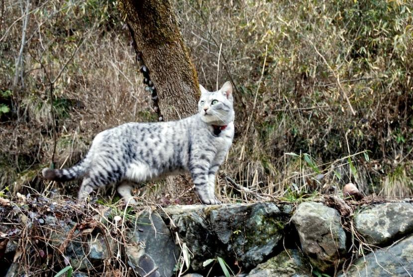Minou dans la montagne devient tigre de Sibérie