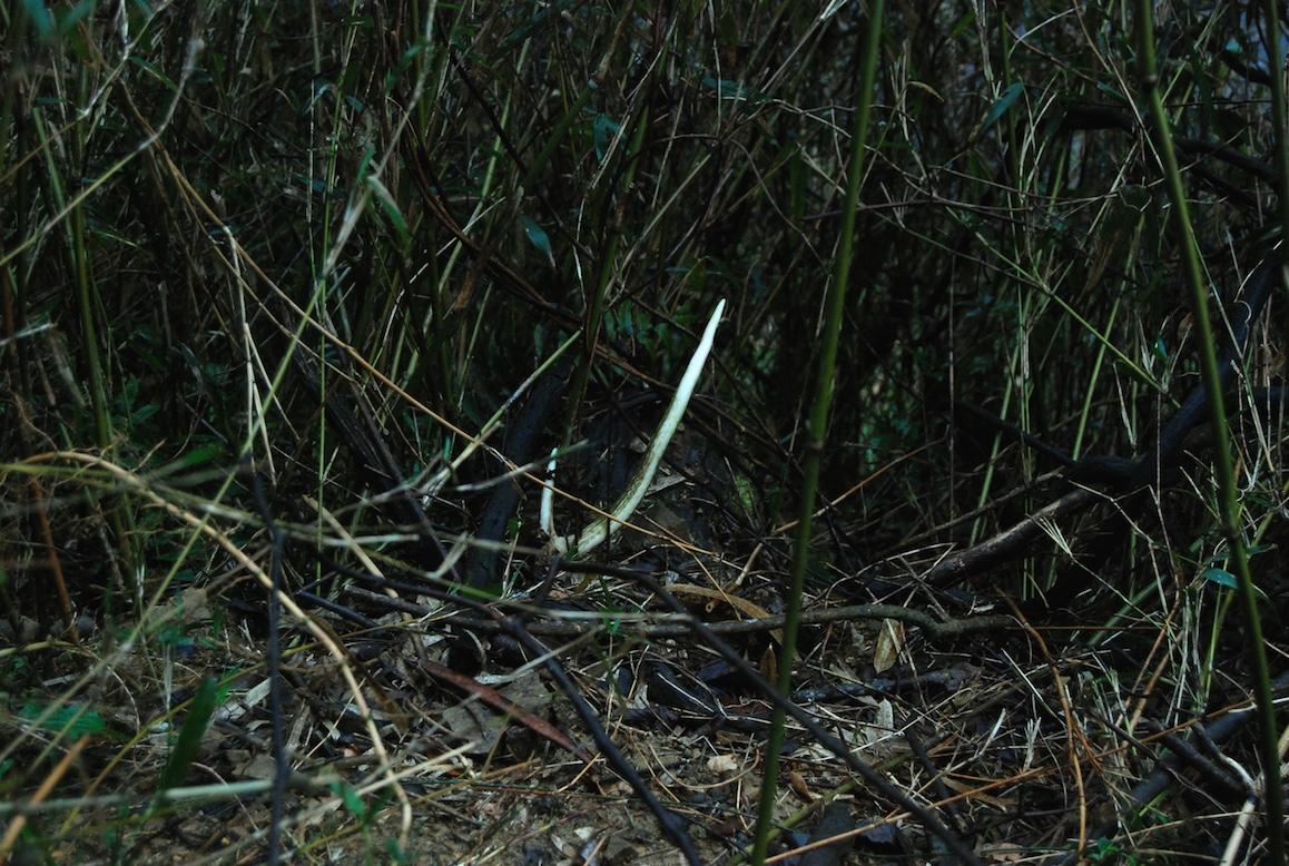 un bois de chevreuil émerge