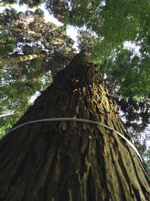 arbre a abattre 1