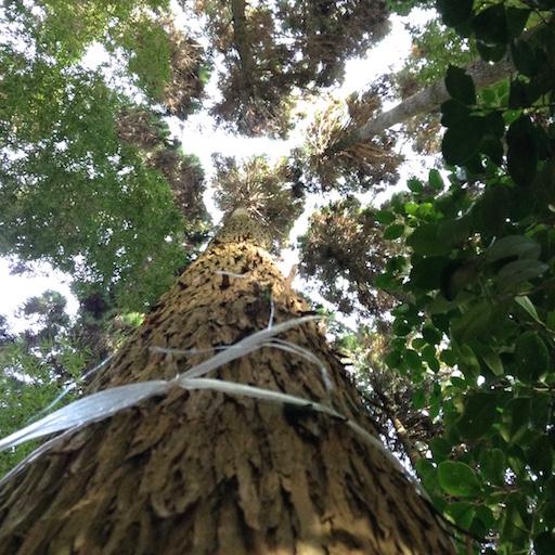 arbre a abattre 4