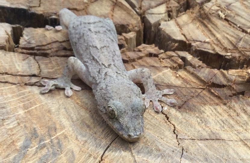 gecko IMG_0203x